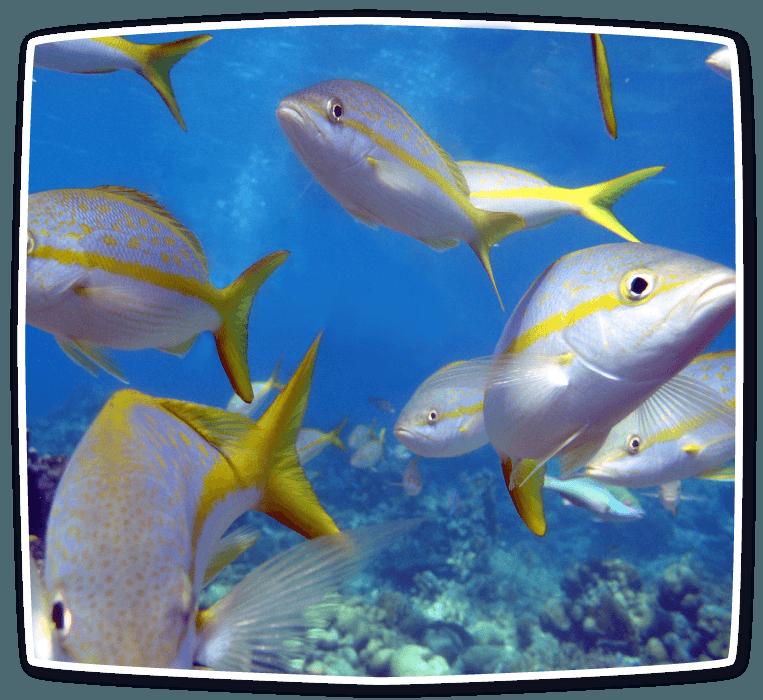 fishyellowtail